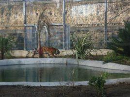 tigri al parco zoo di napoli